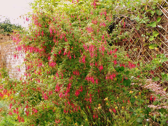 Fuchsia - les rustiques 1-meil11