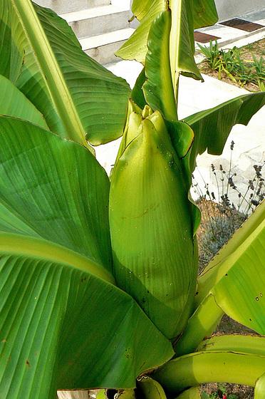 Musa paradisiaca - cycle du bananier 1018