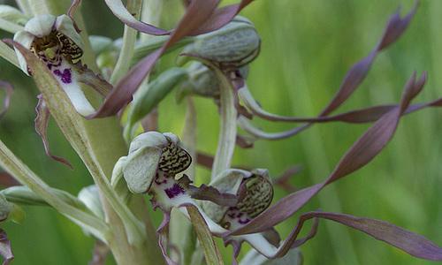 Himantoglossum hircinum - orchis bouc 1020