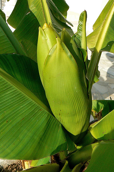 Musa paradisiaca - cycle du bananier 1118
