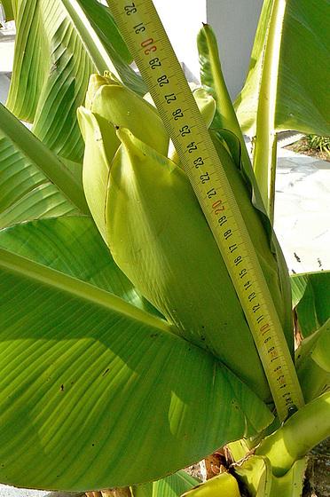 Musa paradisiaca - cycle du bananier 1215
