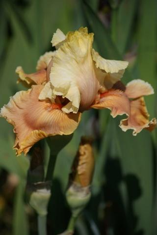 Floraisons 2016 de nos grands iris barbus et Bilan - Page 4 1311
