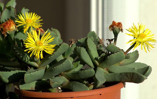 petites Aizoaceae - floraisons d'octobre-novembre 13melo11