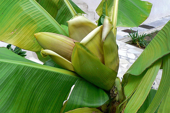 Musa paradisiaca - cycle du bananier 1415