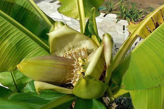 Musa paradisiaca - cycle du bananier 1515
