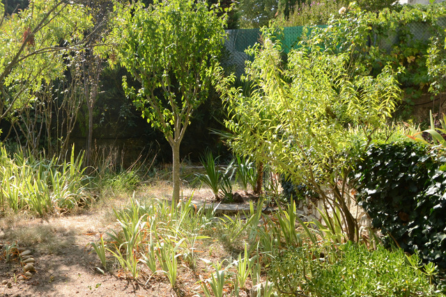 Aloysia citriodora (= Lippia citriodora) - verveine citronnelle 16091210