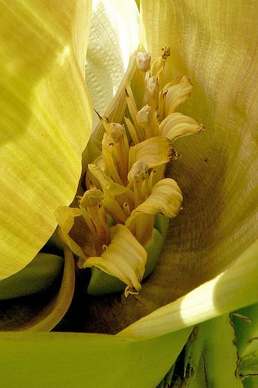 Musa paradisiaca - cycle du bananier 1714