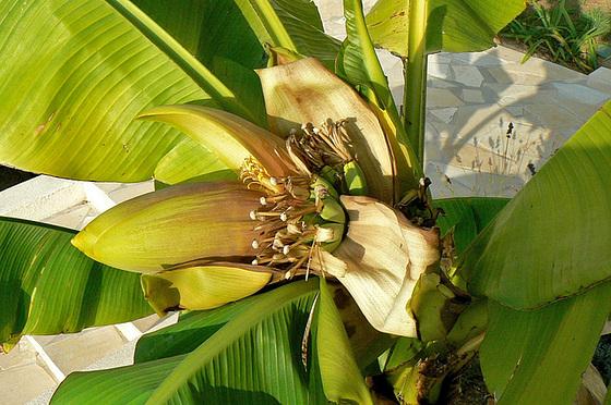 Musa paradisiaca - cycle du bananier 1913