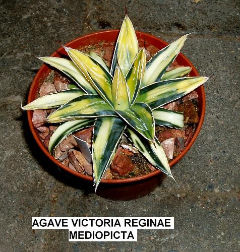 Agave victoriae-reginae - agave de la Reine Victoria 1_1110