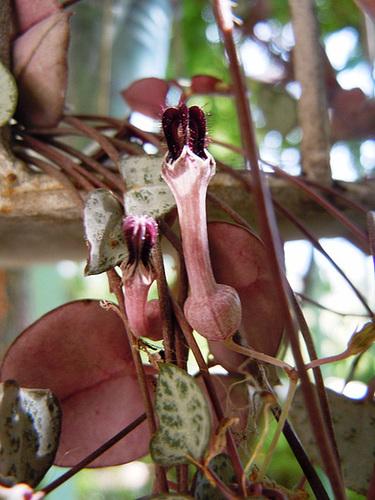 Ceropegia linearis ssp. woodii 1_14ab10