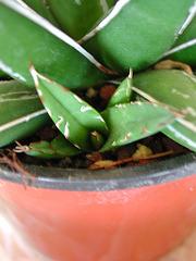 Agave victoriae-reginae - agave de la Reine Victoria 1_2_mi10