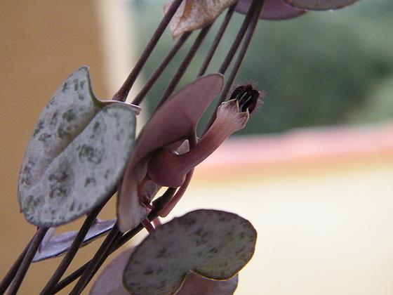 Ceropegia linearis ssp. woodii 1_310