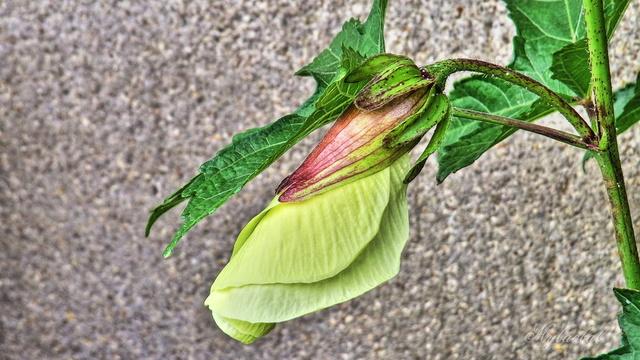 Abelmoschus manihot (= Hibiscus manihot) 1_myba10