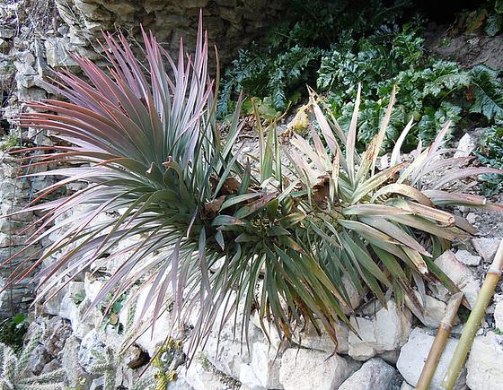 Yucca desmetiana 1abeil10