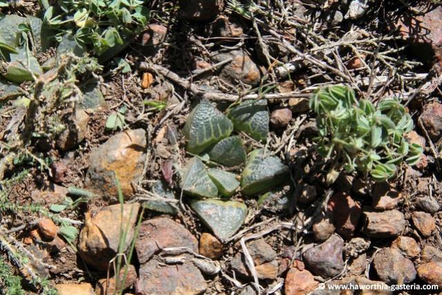 Haworthia magnifica 1habit10