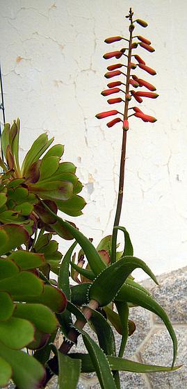 Aloe ciliaris 1meilu11
