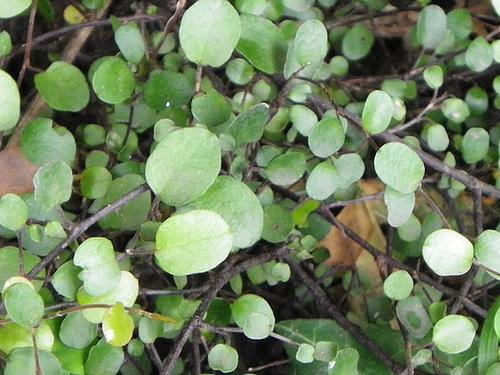 Muehlenbeckia - le genre  2-meil10