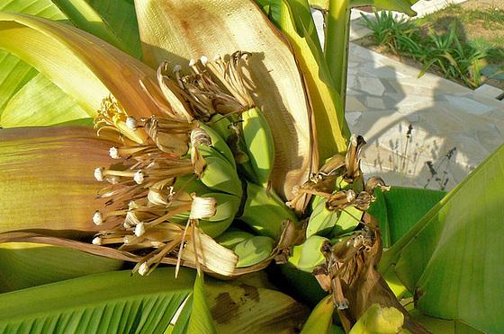 Musa paradisiaca - cycle du bananier 2014
