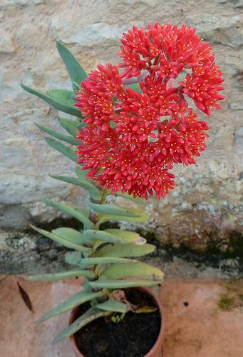 Crassula perfoliata var. falcata (= C. perfoliata var. minor = C. falcata) - Page 2 210