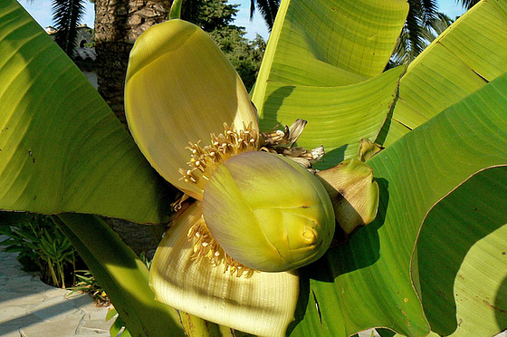Musa Paradisiaca Cycle Du Bananier
