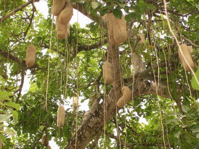 Kigelia africana - arbre à saucisses [devinette] 217