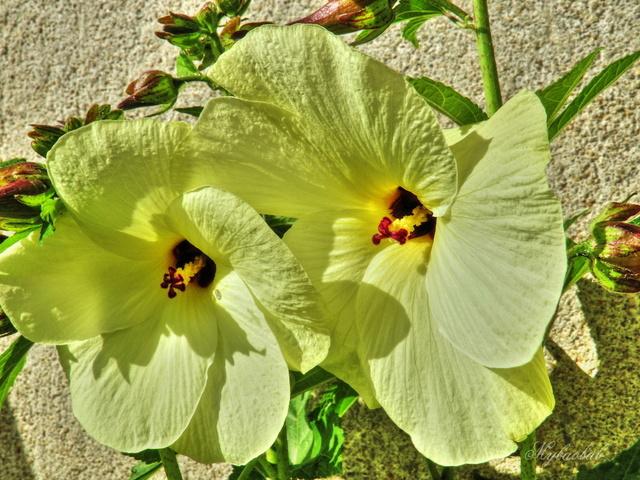 Abelmoschus manihot (= Hibiscus manihot) 218