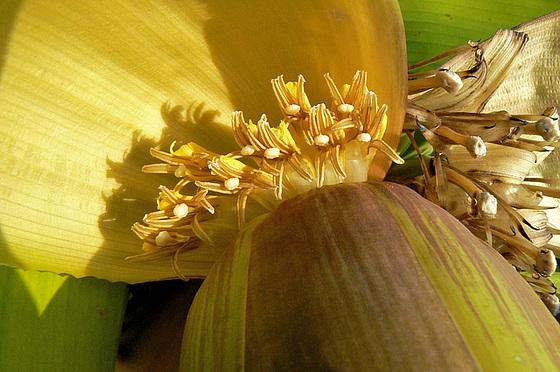 Musa paradisiaca - cycle du bananier 2214