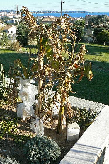 Musa paradisiaca - cycle du bananier 2313
