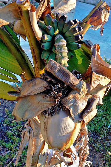 Musa paradisiaca - cycle du bananier 2413