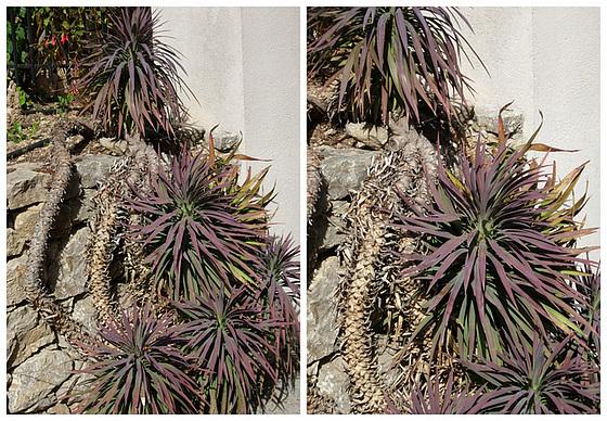 Yucca desmetiana 246