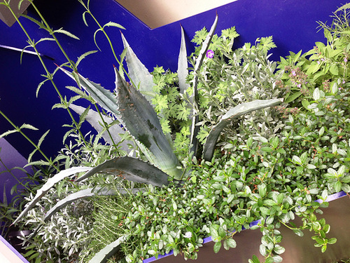 Agave - mur vegetal 247
