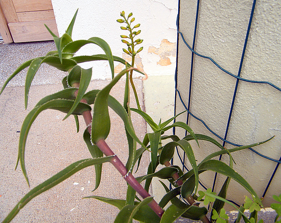 Aloe ciliaris 248