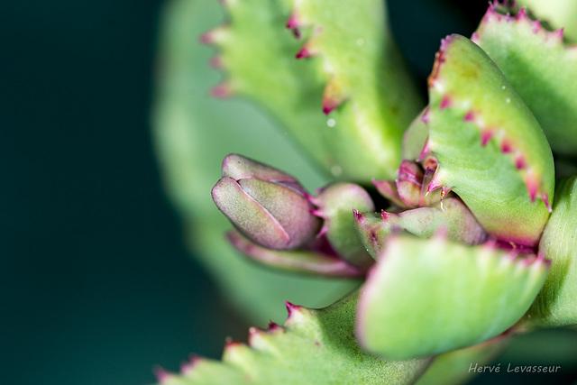 Carruanthus caninus = Bergeranthus caninum (ringens) - Page 2 2_2mel10
