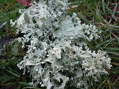 mousses et lichens [verrouillé] - Page 2 3-bip10