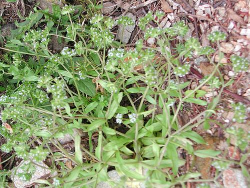 Valerianella locusta - mâche, doucette 3-cuga10