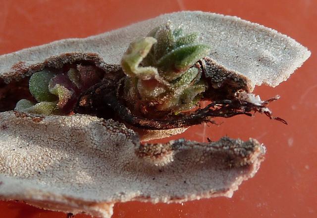 Crassula perfoliata var. falcata (= C. perfoliata var. minor = C. falcata) - Page 2 310