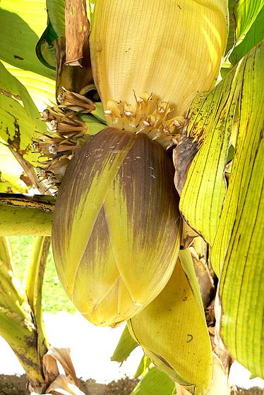 Musa paradisiaca - cycle du bananier 315