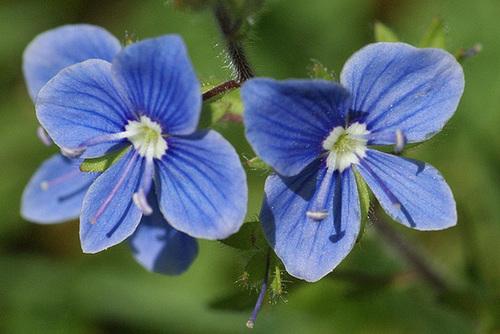 Veronica chamaedrys var. chamaedrys - véronique petit-chêne 321
