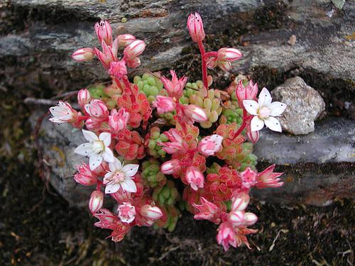 flore des vieux murs, rochers  et rocailles naturelles 36cug10