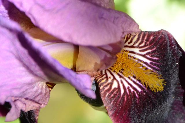 Iris 'Cameroun' - Cayeux 1938 42849510