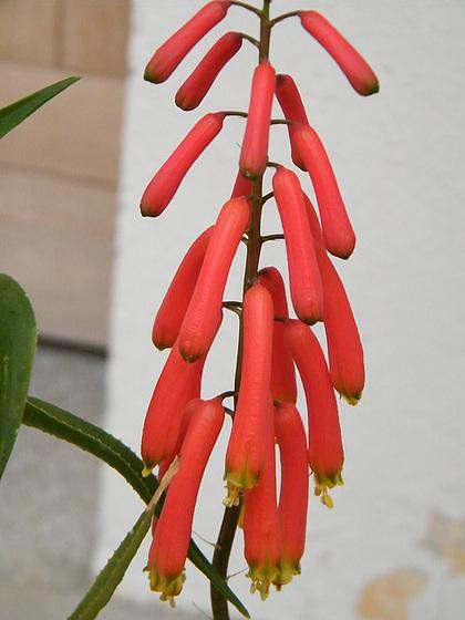Aloe ciliaris 433