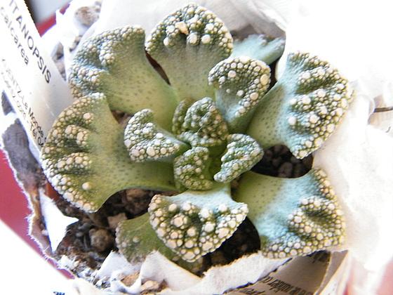 Aizoaceae du jardin  4meilu10