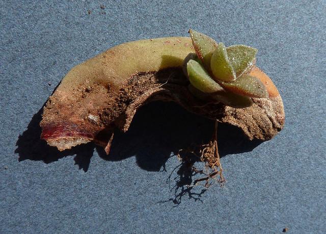 Crassula perfoliata var. falcata (= C. perfoliata var. minor = C. falcata) - Page 2 510