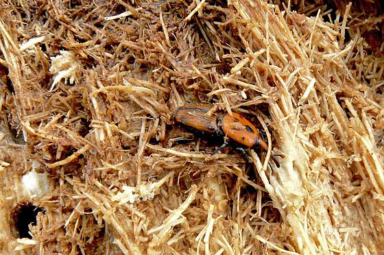 Rhynchophorus ferrugineus - charançon rouge du palmier 522