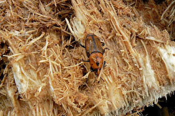 Rhynchophorus ferrugineus - charançon rouge du palmier 623