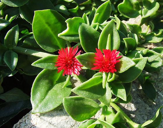 Aptenia cordifolia = Mesembryanthemum cordifolium 6melu10