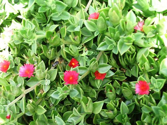 Aptenia cordifolia = Mesembryanthemum cordifolium 731