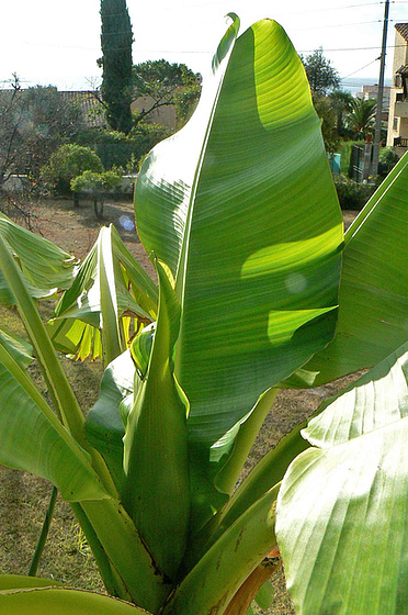 Musa paradisiaca - cycle du bananier 820