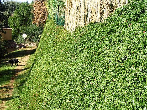 Aptenia cordifolia = Mesembryanthemum cordifolium 824