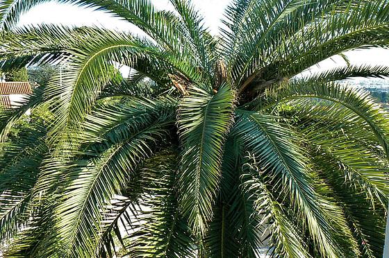 Rhynchophorus ferrugineus - charançon rouge du palmier 8_14_d10
